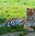 whipsnade zoo tiger