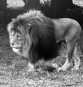 whipsnade zoo lion